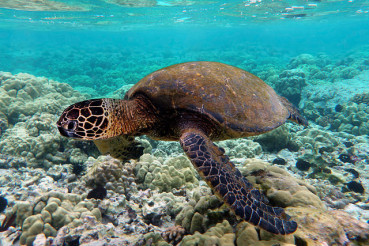 640px-Green_turtle_swimming_over_coral_reefs_in_Kona