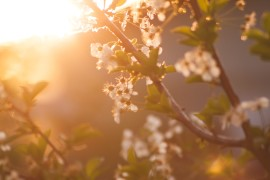 nature-flowers-spring-cherry-72473