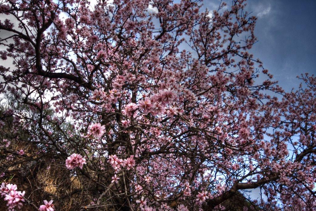 Fotos Ruta del Almendro en flor 2012 en Gran Canaria_by_El Coleccionista de Instantes Fotografía & Video