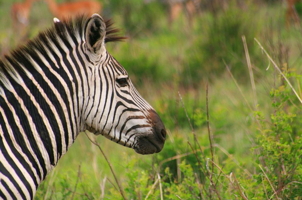 Zebra_-_Ruaha_National_Park_-_Tanzania