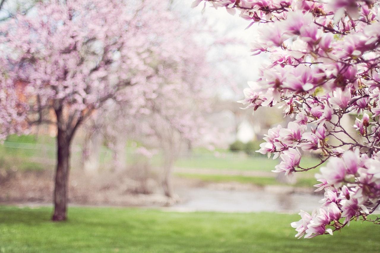 pink-cherry-blossom-tree-38910